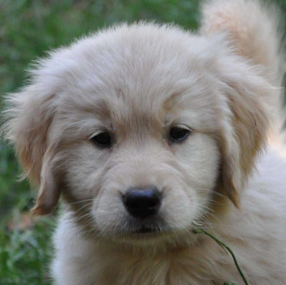 Golden retriever breeders oregon